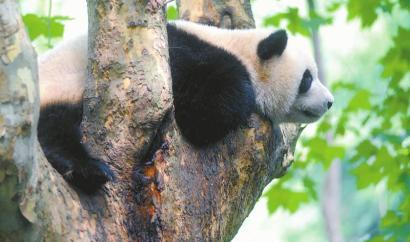 """大熊猫,四川走出的""""交流使者"""""""
