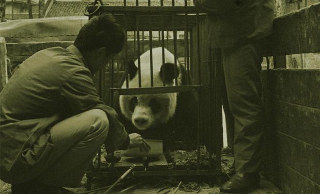 在桃子坪捕捉大熊猫