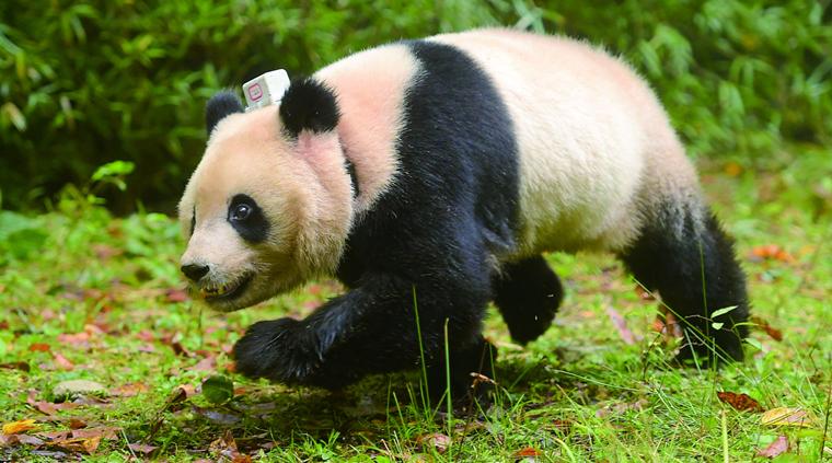 放归大熊猫  美丽雅安成大熊猫野外放归地