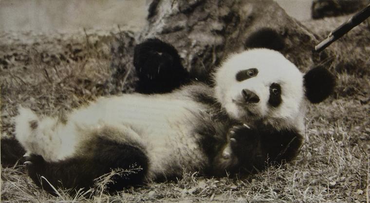 """最后的""""国礼大熊猫"""""""